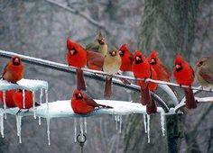 Cardinals in the snow. Missouri, USA.