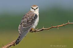 Black shouldered kite or Black winged kite. Juvenile.