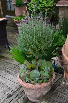 Lavender underplanted with succulents