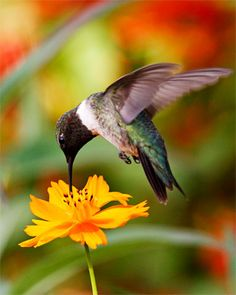 Seeing many hummers this summer enjoying my flowers.