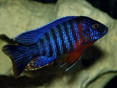 "The Aulonocara stuartgranti, hansbaenschi (Chiloelo) or Red Shoulder Peacock Cichlid is a popular species of Aulonocara that's native to Lake Malawi in Africa. Males display a dark metallic blue color contrasted by red behind their gills and on their pectoral fins. The Red Shoulder Peacock grows to be about 6"" in length, is fairly mild mannered, and is fairly easy to keep in a home aquarium."