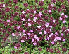 thyme - thymus 'Coccineus group'. Perfect edging plant with delicious scent if accidentally trodden on!