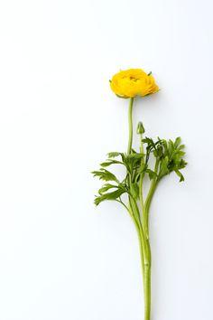 #Ranonkel #Ranunculus #Bloemen #Flowers