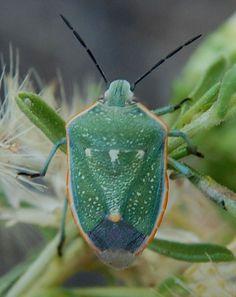 Chlorochroa sayi photo © by Mike Plagens