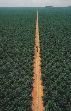 """Fruit from one of Malaysia's largest oil-palm plantations rolls to mill over a light railway.""  —From ""Malaysia: Rising Star,"" August 1997, National Geographic magazine;  photo by Stuart Franklin   ...the tiny dot on the left of the short dark 'line' on the road between the trees looks like a jeep...this place is huge!..."
