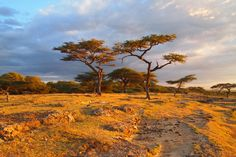 The plains of Africa! South Africa Art, Out Of Africa, Landscape Art, Landscape Paintings, Landscape Photography, Zimbabwe Africa, Africa Painting, African Tree, Les Continents