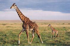 Google Afbeeldingen resultaat voor http://www.giraffes.org/giraffe.jpg