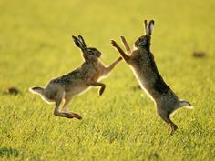 boxing hares | Follow the Piper