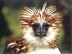 Phillipine (Monkey-eating) Eagle - seen at Birds of Prey Center. Very large, looks like a monkey until it begins to fly, then looks like an eagle. Snaps the neck of the animal when it picks it up - something like 300 lbs of pressure in the talons. Critically endangered.
