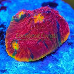 Jelly Bean Chalice coral  https://cornbredcorals.com/collections/wysiwyg/products/cornbred-presents-wwcs-jelly-bean-chalice-wysiwyg-2