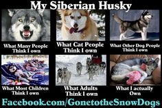 My Siberian Husky. This is so true, especially the last one!! Love my husky!