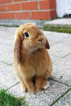 Light Brown Dwarf Bunny