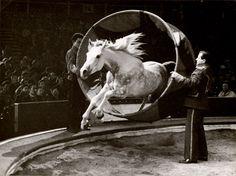 Liberty horse, Bertram Mills' Circus