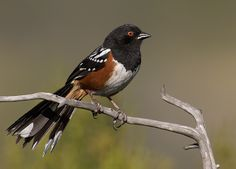 Spotted Towhee, year around large New World Sparrow.
