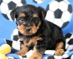 Puppies for Sale Yorkies For Sale, Puppies For Sale, Yorkshire Terrier Puppies, Dundee, Beautiful