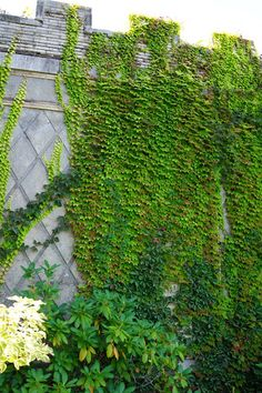 Two varieties of Parthenocissus climb a wall in the Walled Garden: Parthenocissus henryana (Silvervein Creeper) and Parthenocissus tricuspidata 'Fenway Park'. Fenway Park gets it name from where the Boston ivy cultivar was originally collected!