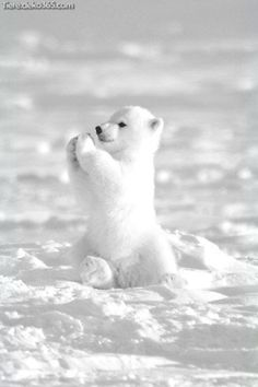 """10 Animal \""""Facts\"""" Will Both Amaze You And Make You Laugh! You probably have no idea at what angle ducks begin to melt.Top 10 Animal \""""Facts\"""" Will Both Amaze You And Make You Laugh! You probably have no idea at what angle ducks begin to melt. Polar Cub, Baby Polar Bears, Teddy Bears, Cute Polar Bear, Grizzly Bears, Cute Bears, Baby Pandas, Panda Bears, Bear Cubs"""