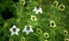 Cold hardy annual (can be sown in winter). Nigella Sativa, Black Seed, Planting Seeds, Healthy Life, Herbalism, Herbs, Plants, Garden, Healing