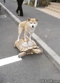 GIF: They see me rollin they hatin - www.gifs-gif.com Ok so this is a Shiba Inu riding on the back of a giant turtle, I don't know I just HAD to pin it