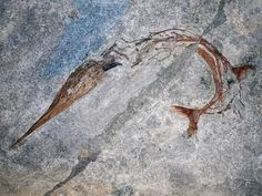Exceptional fossil fish reveals new evolutionary mechanism for body elongation | Geology Page