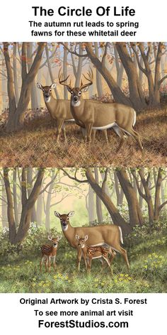 Paintings of a whitetail #deer family. A buck and doe in autumn, and their offspring of adorable twin fawns the following spring.