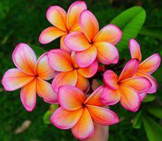Plumeria/Frangipani 'Jacandy Lou'
