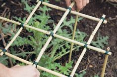 Find out how to use old bamboo stems to make plant supports for herbaceous perennials, in this step-by-step guide, from BBC Gardeners' World Magazine. Bamboo Trellis, Diy Trellis, Bamboo Garden, Bamboo Plants, Veg Garden, Garden Trellis, Garden Boxes, Garden Art, Small Plants