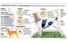 Infografía con algunas de las características morfológicas del Sabueso Fino colombiano. Diario El Comercio.
