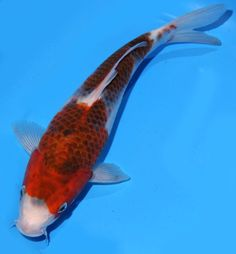 "Live koi fish 9-10"" Red Goromo koibay"