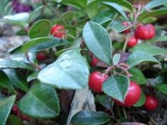 Plant WINTERGREEN (also called teaberry) - leaves in spring are used for their minty taste & asprin like effects. Berries are best after first frost, in jams and pies.