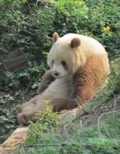 The Qinling Panda is a Subspecies of the Giant Panda. It is lighter and mere brown than a normal Giant Panda. About 200 - 300 Qinling Pandas lives in nature. Panda Love, Cute Panda, Panda Funny, Rare Animals, Animals And Pets, Wild Animals, Pink Eyes, Types Of Pandas, Brown Panda