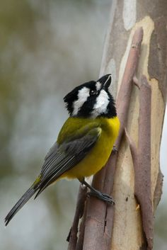 Crested Shrike-tit | Flickr - Photo Sharing!
