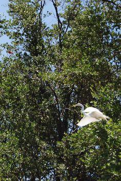 La Garza Blanca Real, es otra de las especies que pernotan en los manglares de la Laguna de Unare en Anzoátegui, Venezuela.