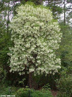Fringetree (Chionanthus virginicus) - Also known as Old Man's Beard Fringe Tree, Plant Images, Unique Trees, Trees And Shrubs, Native Plants, Garden Plants, Flower Power, Planting Flowers, Flora