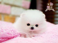 Female Pomeranian Micro Maltese, Teacup Maltese, Teacup Chihuahua, Teacup Puppies, Pomeranians, Yorkies, Tiny Puppies, Cute Puppies, Micro Poodle