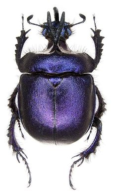 Beetle Insect, Beetle Bug, Beetle Juice, Cool Insects, Bugs And Insects, Beautiful Bugs, Alien Creatures, Purple Lilac, Patterns In Nature