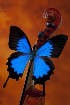 Blue Butterfly On Violin Photograph  - Blue Butterfly On Violin
