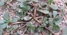 Growing habit of Portulaca oleracea. Small Yellow Flowers, Fresh Flowers, Portulaca Oleracea, Weeds In Lawn, Diy Trellis, Edible Plants, Healing Herbs, Urban Farming, Gardens