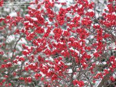 Winterberry Holly, Black Alder 'Winter Red' (Ilex verticillata) native holly