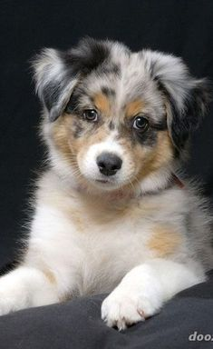 Find Out More On The Australian Shepherd Puppies Temperament Australian Shepherd Puppies, Aussie Dogs, Mini Aussie, Aussie Shepherd, Mini Australian Shepherds, Blue Merle Australian Shepherd, Aussie Puppies For Sale, Beautiful Dogs, Animals Beautiful