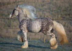 Amazing horse - I believe it's a dapple colored Gypsy Cob.
