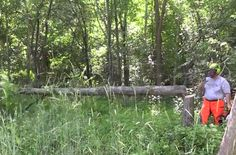 Hinge cutting and feather edging is a great habitat improvement project if you have the right area to hunt.