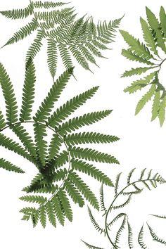 curled ferns | STILL (mary jo hoffman)
