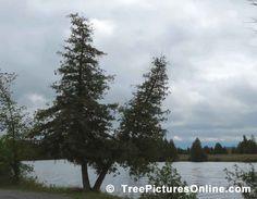Tree Pictures, Pair of Cedars Photo