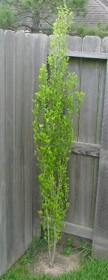 Will Fleming Yaupon, evergreen shrub, grows 10-20', full to part sun, dry to wet conditions