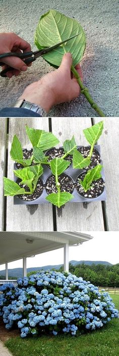 Rooting hydrangea cuttings: Hydrangeas respond well to several propagation techniques, including layering and dividing. But rooting softwood cuttings in summer will yield a bunch of new plants in about four weeks. Backyard Garden Design, Terrace Garden, Garden Landscaping, Modern Backyard, Garden Oasis, Flowers Garden, Planting Flowers, Garden Plants, Vegetable Garden