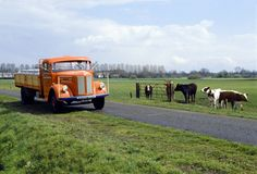 scania-vabis_l51 Cow, Trucks, Vehicles, Animals, Animales, Animaux, Cattle, Truck, Car