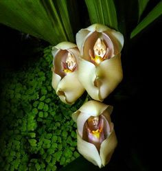 Babies in a Blanket, Orchid