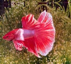 209 Thai Import Red White & Blue Male Dumbo Ears Halfmoon Betta Live Fish