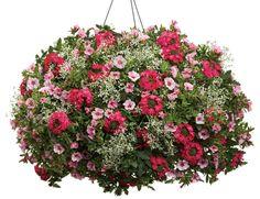 Hanging basket 'Sundance' featuring: Verbena 'Superbena Royale Iced Cherry', Calibrachoa 'Superbells Cherry Blossom', and Eurphorbia 'Diamond Frost'